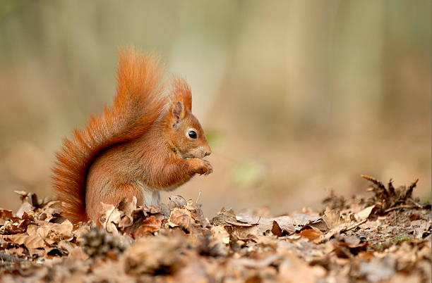 Eurasian red squirrel – Foto