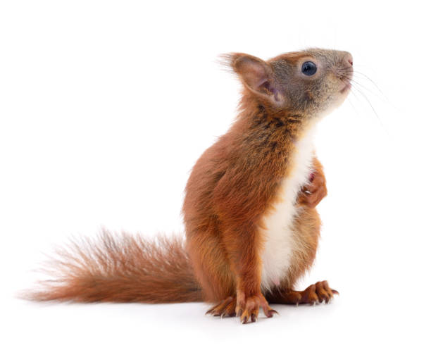 eurasian red squirrel. - squirrel stock photos and pictures