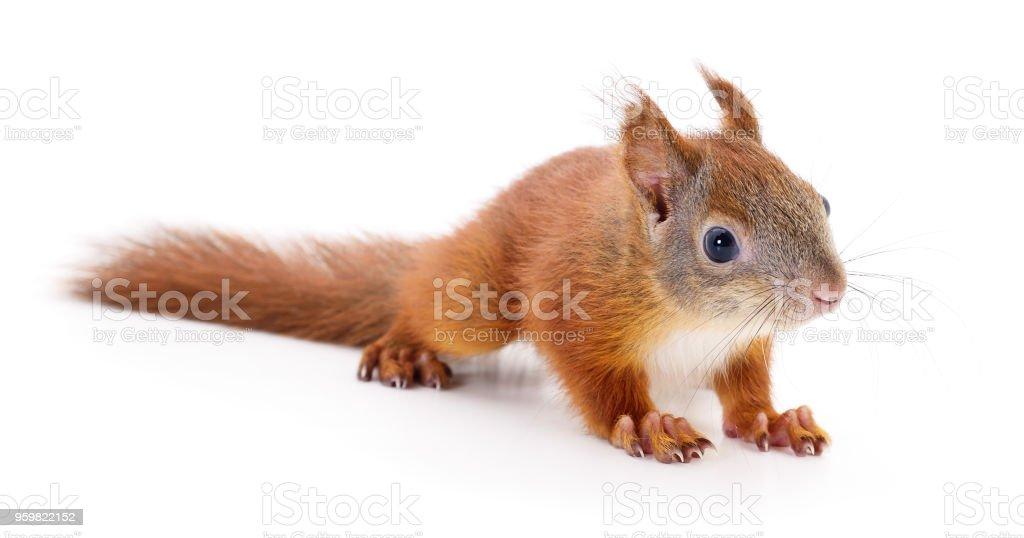 Eurasian red squirrel. stock photo