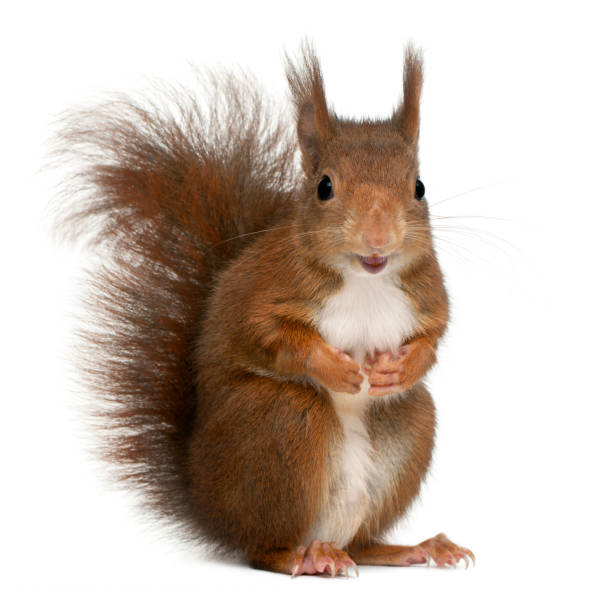 eurasian red squirrel, sciurus vulgaris, 4 years old, in front of white background - squirrel stock photos and pictures