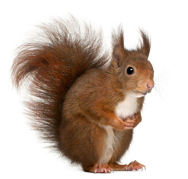 eurasian red squirrel, sciurus vulgaris, 4 years old, white background. - squirrel stock photos and pictures
