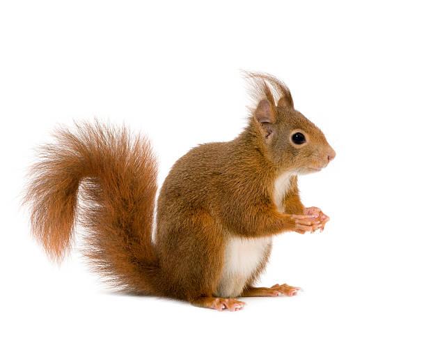 eurasian red squirrel - sciurus vulgaris - squirrel stock photos and pictures