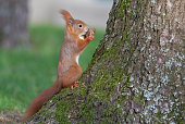 Eurasian red squirrel with a walnut
