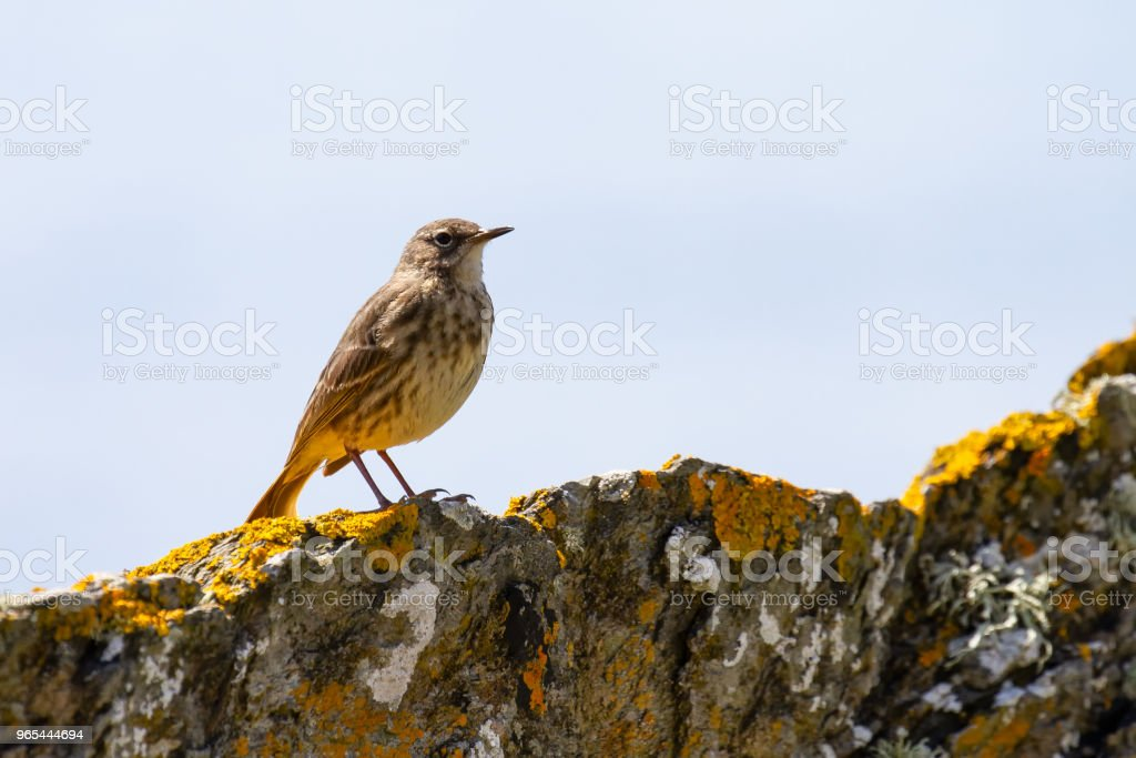 Eurasian Rock Pipit (Anthus petrosus) on rocks in Cornwall zbiór zdjęć royalty-free