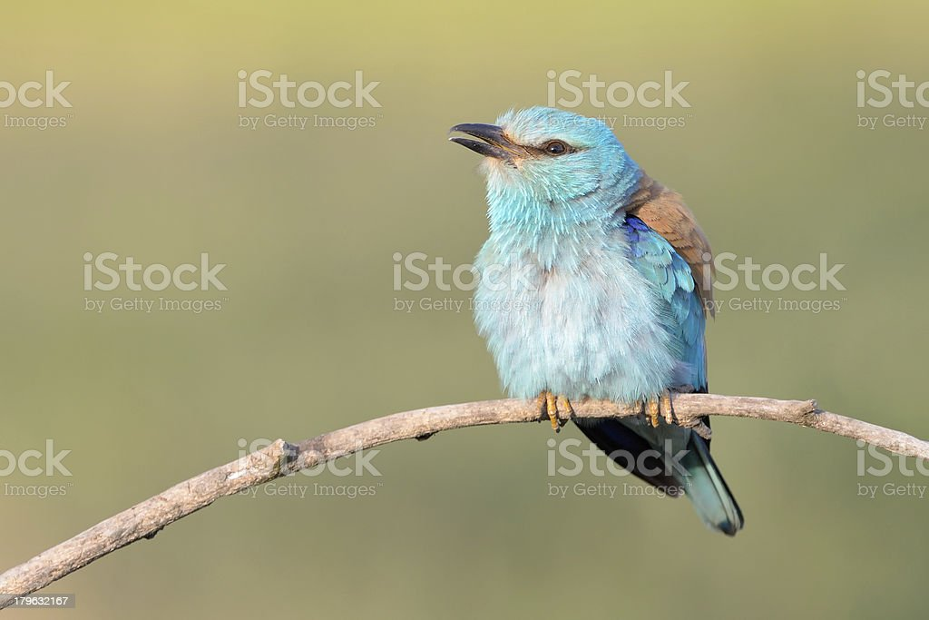 Eurasian Roller courtship royalty-free stock photo
