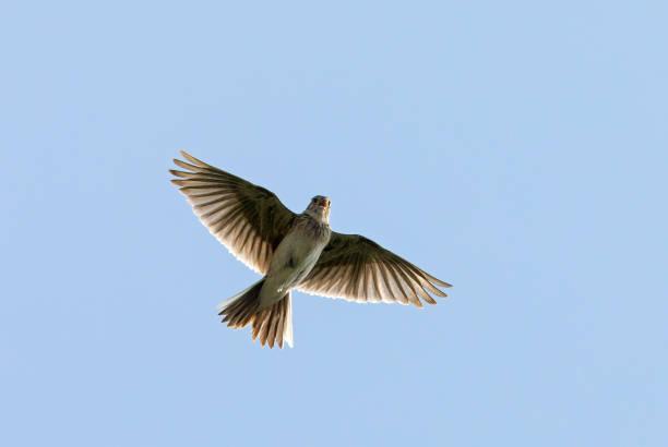 Eurasian skylark flying and singing stock photo