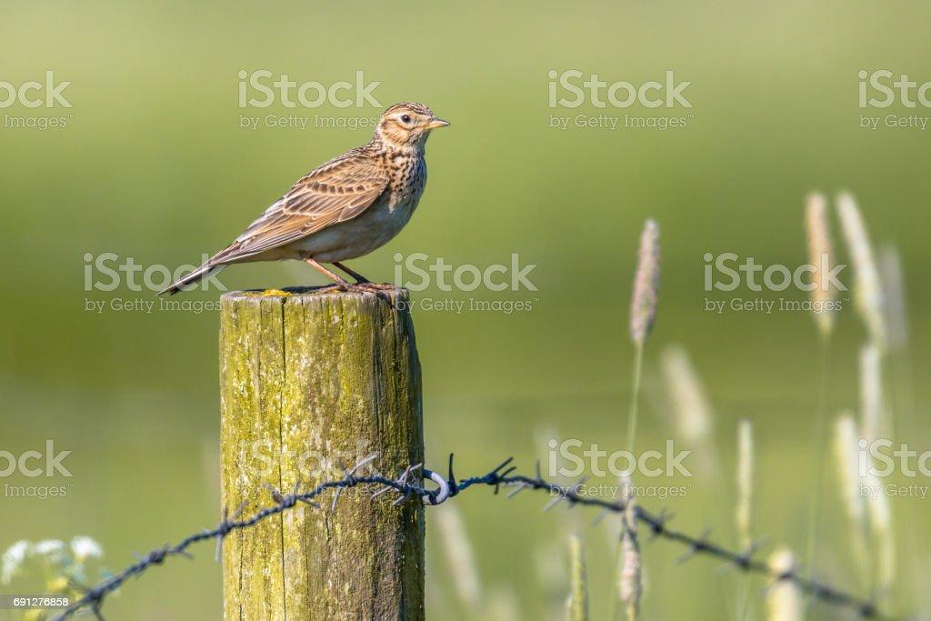 Eurasian skylark on pole in agricultural landscape stock photo
