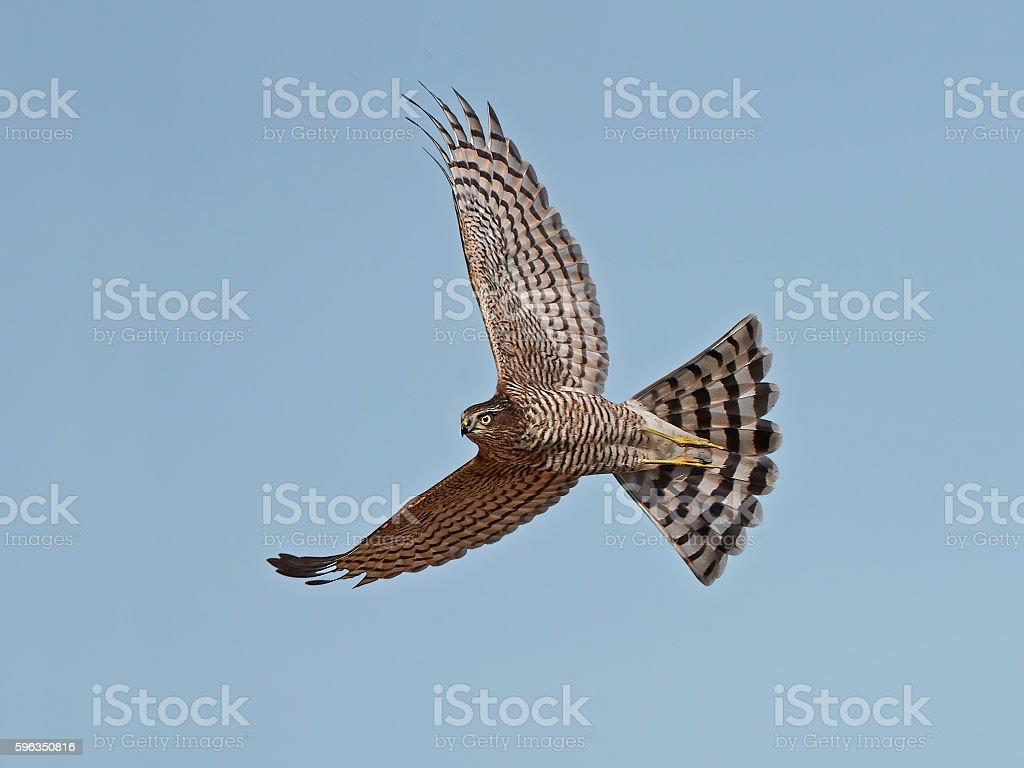 Eurasian sparrowhawk (Accipiter nisus) Lizenzfreies stock-foto