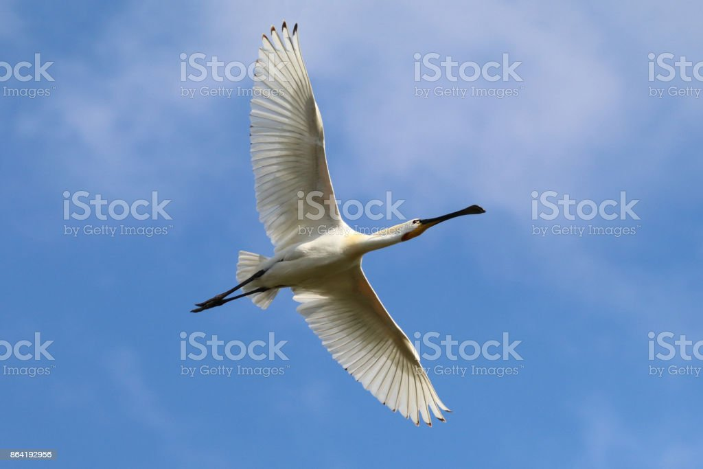 Eurasian spoonbill royalty-free stock photo