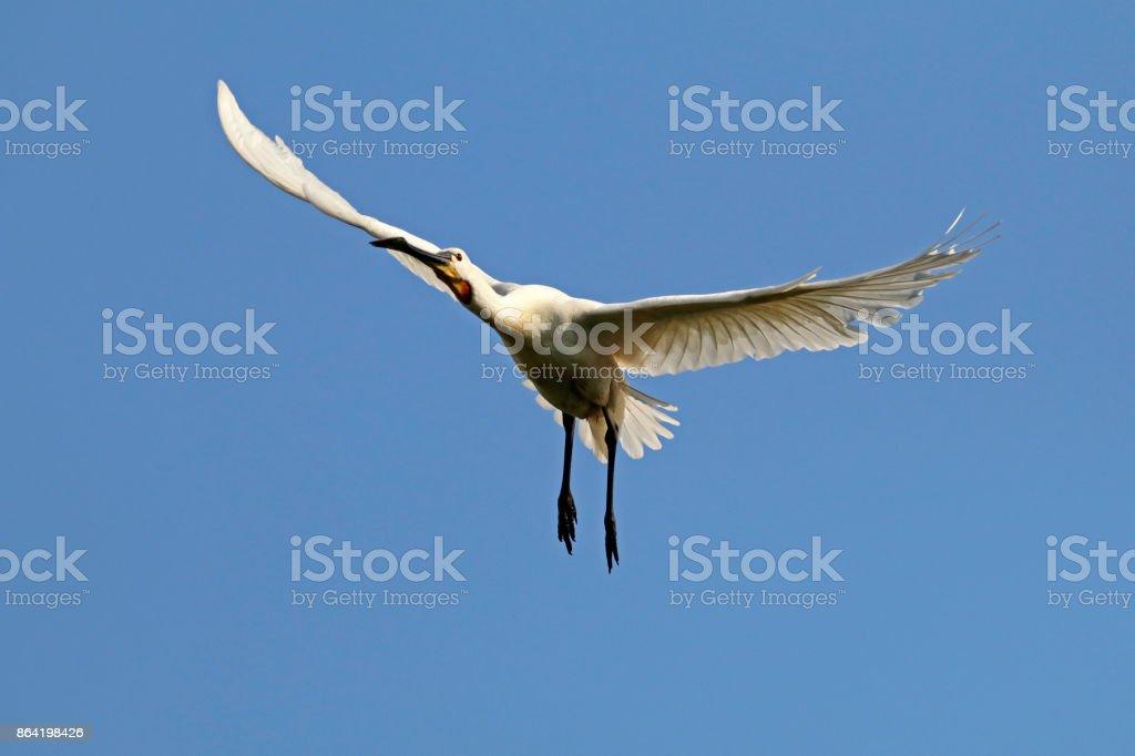 Eurasian spoonbill royalty-free stock photo