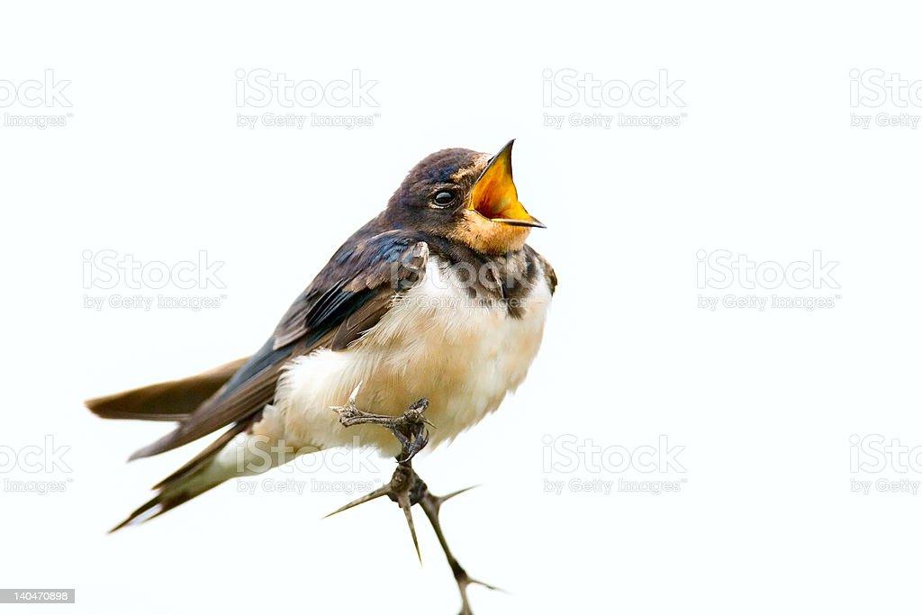 Eurasian swallow royalty-free stock photo