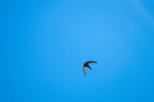 Eurasian Swift