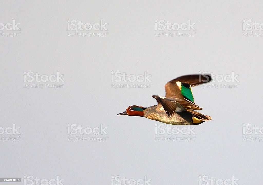 Eurasian Teal, Anas crecca flying stock photo
