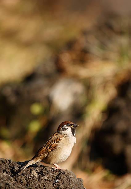 Eurasiatische Baum Sparrow – Foto