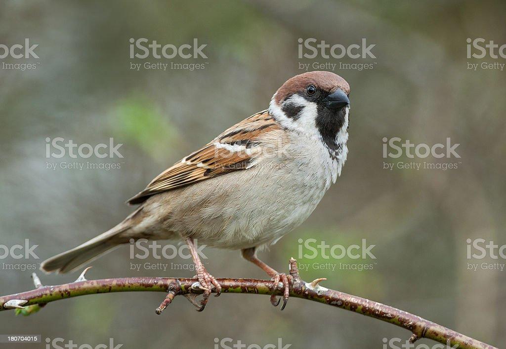 Eurasian Tree Sparrow (Passer montanus) royalty-free stock photo
