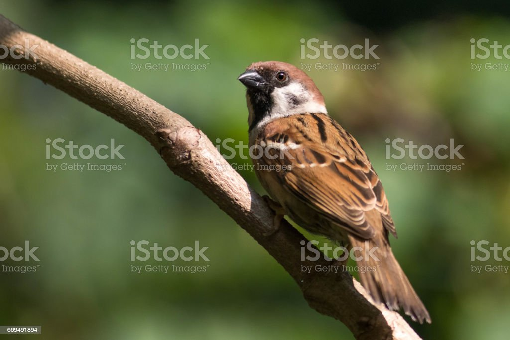 Eurasian Tree Sparrow stock photo