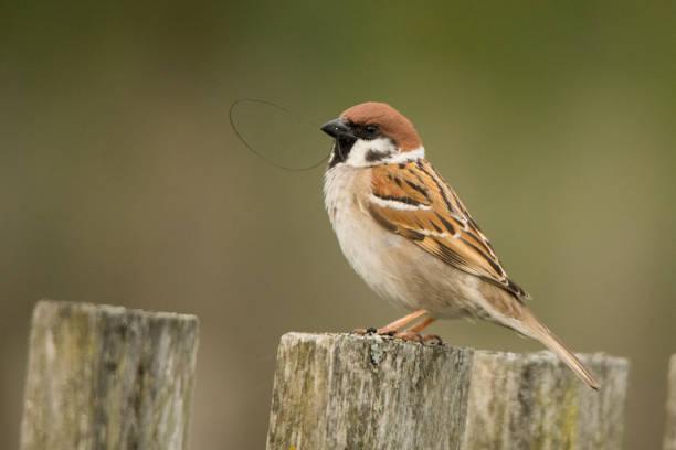 Eurasischer Baumsparrow (Passer montanus). Der Vogel sitzt auf einem Holzzaun. Polesie. Ukraine – Foto
