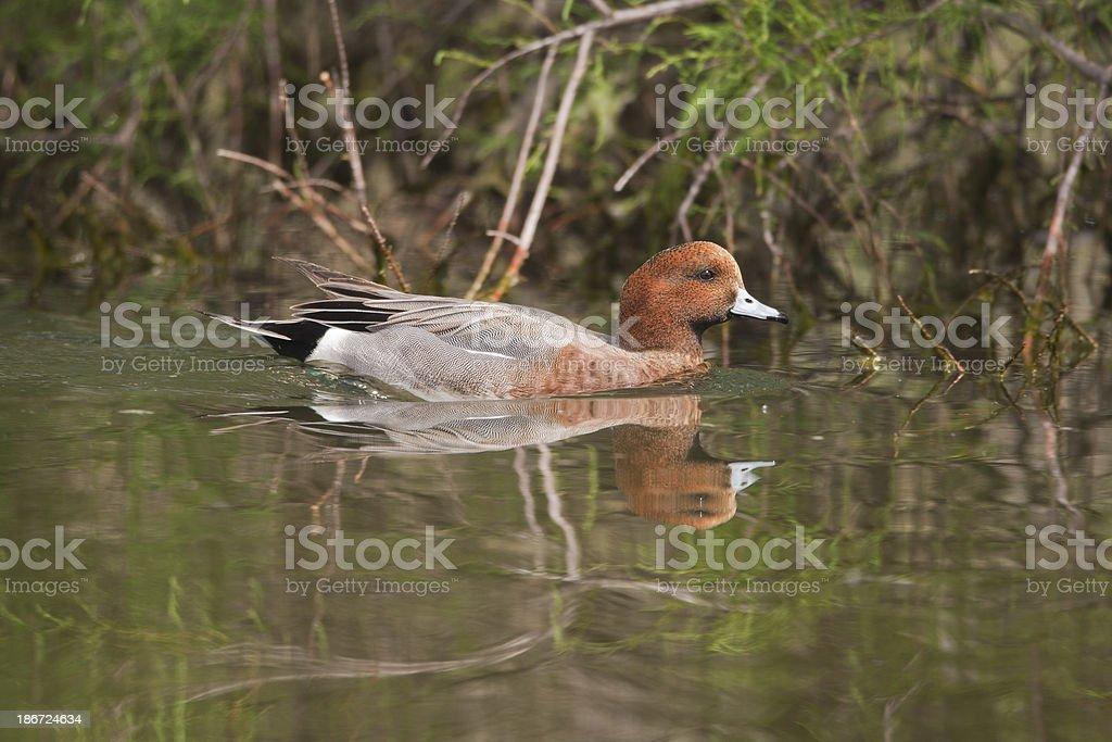Eurasian Wigeon stock photo