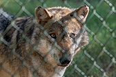 Portrait of an eurasian wolf behind a fence. Farmers installed fences to shelter their animals.