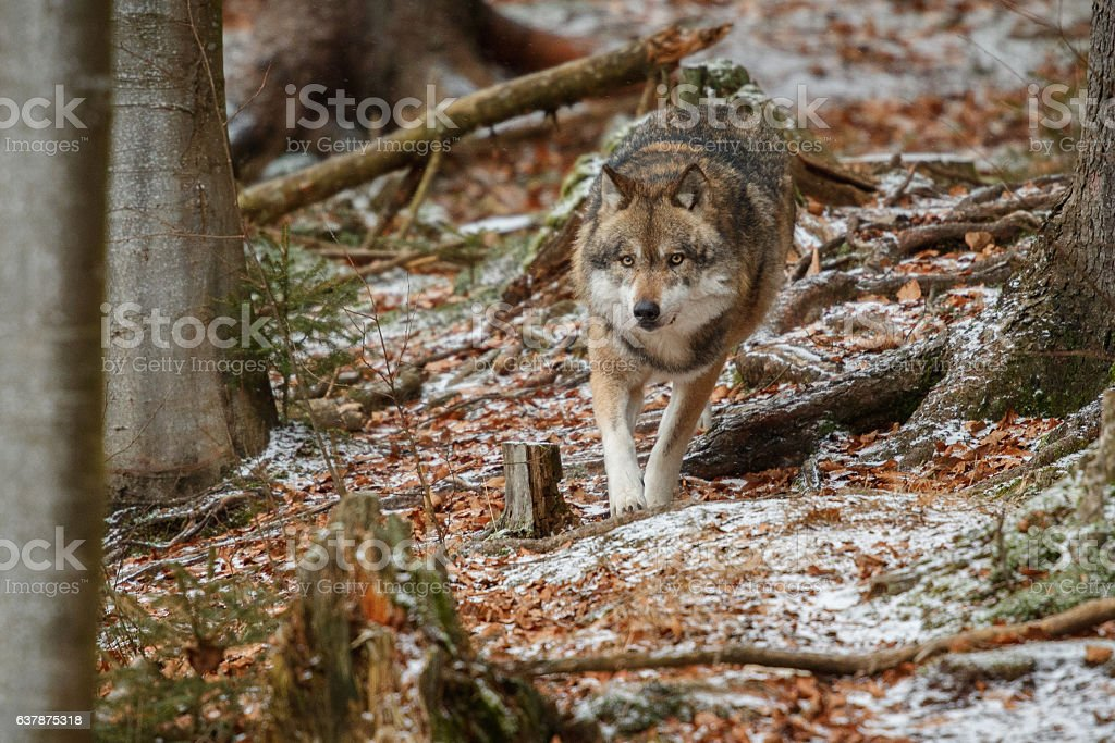 Eurasian wolf face to face in nature habitat in germany stock photo