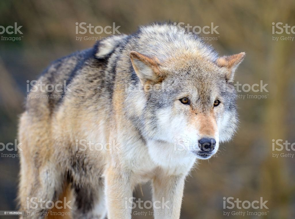 Eurasian Wolf (Canis Lupis Lupis), hunting stance looking at prey stock photo