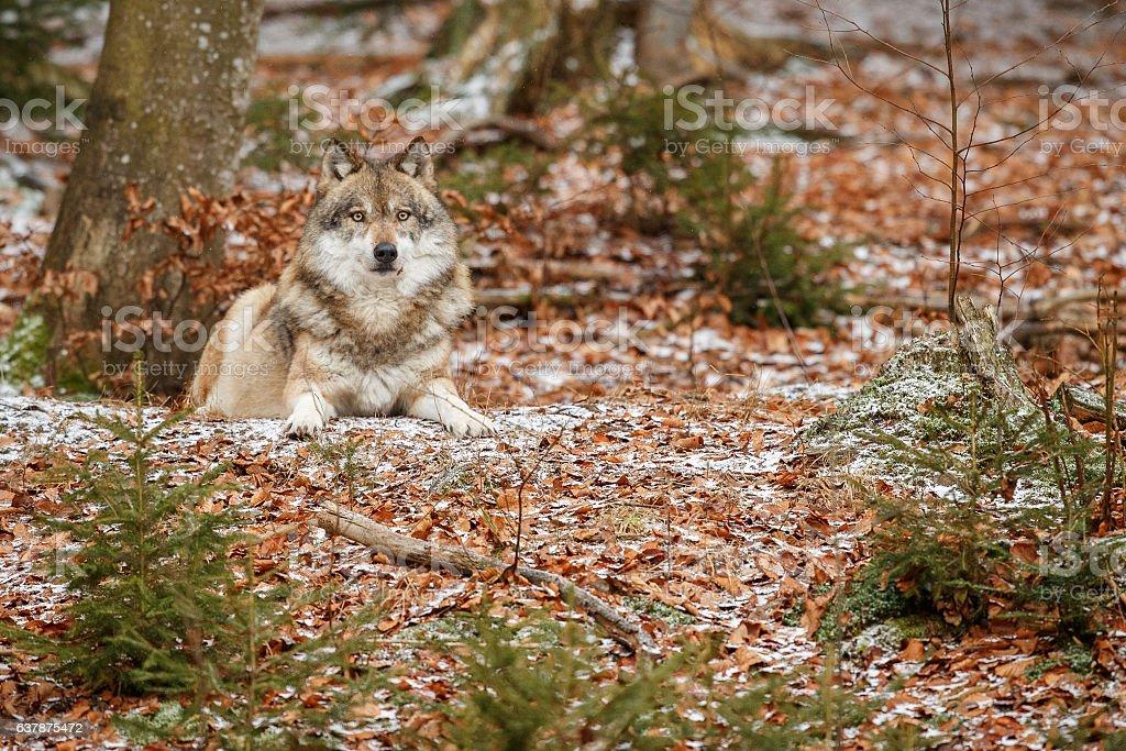 Eurasian wolf is resting in nature habitat stock photo