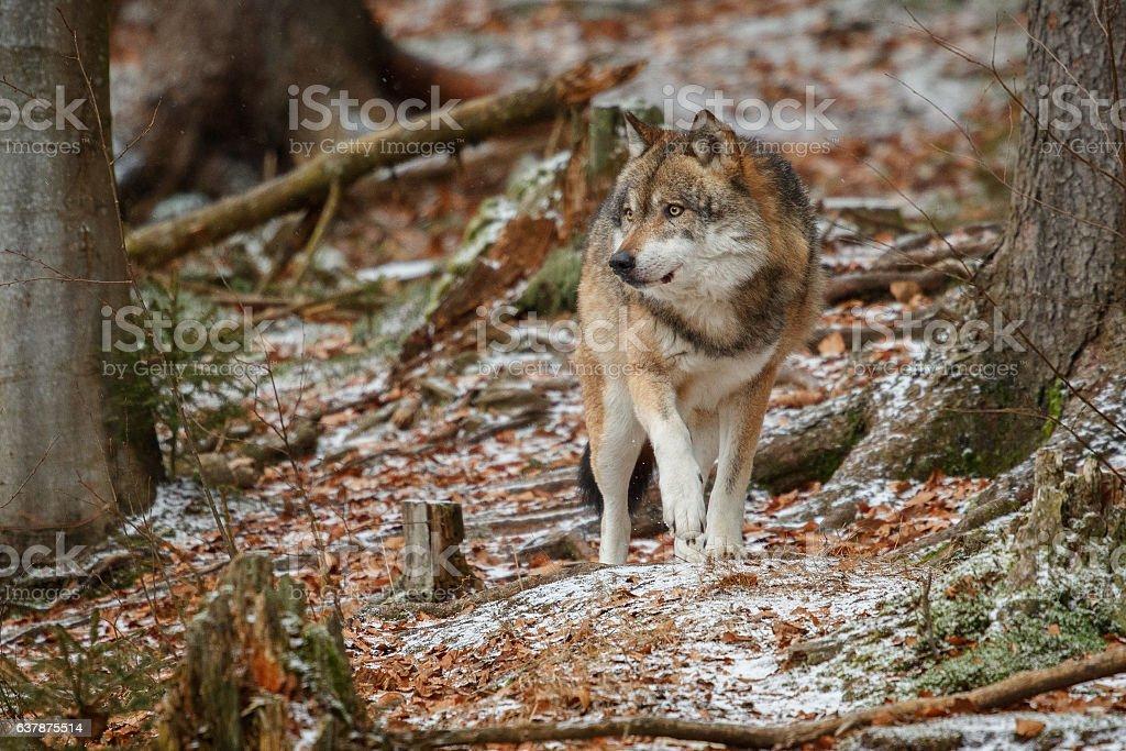 Eurasian wolf is standing in nature habitat stock photo