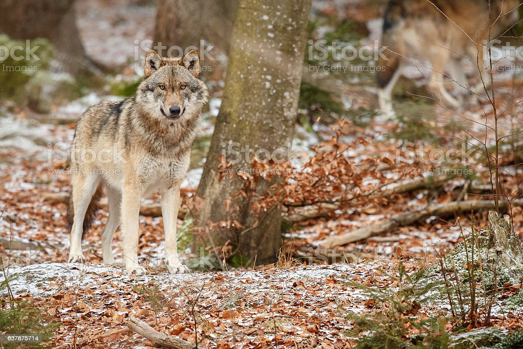 Eurasian wolf is standing in nature habitat stock photo