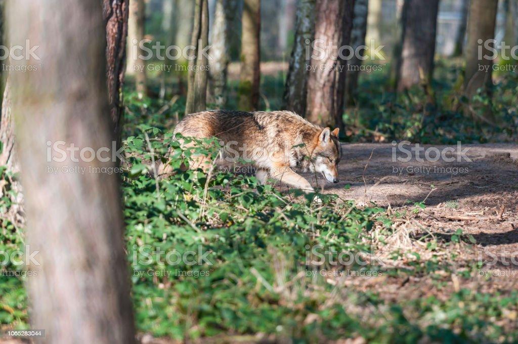 Eurasische Wolf (Canis Lupus Lupus, gemeinsame Wolf, mittleren russischen Wald Wolf) – Foto