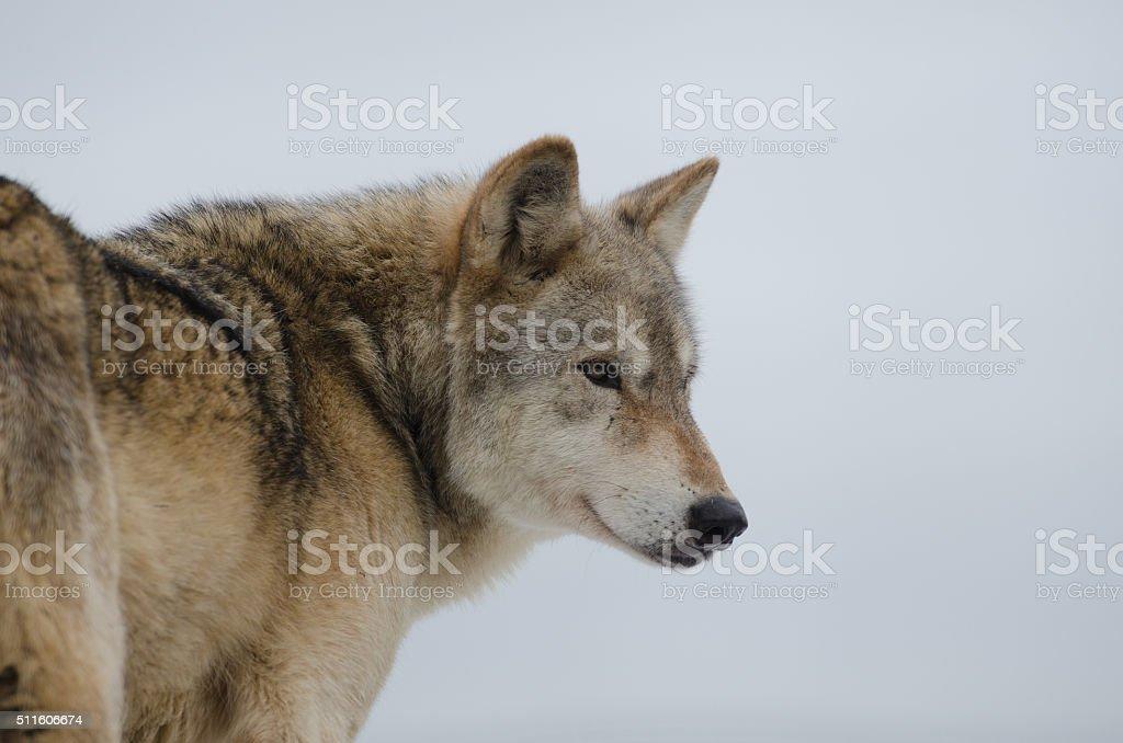 Eurasian Wolf (Canis Lupis Lupis), protrait isolated against white background stock photo