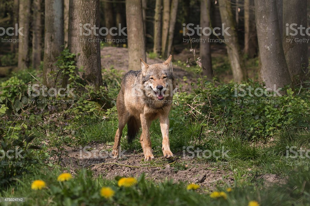 Eurasian Wolf staring from the woods stock photo