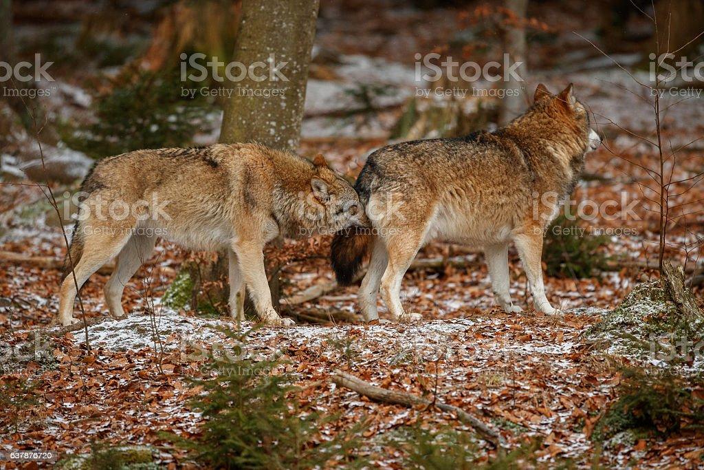 Eurasian wolfpack in nature habitat in bavarian forest stock photo