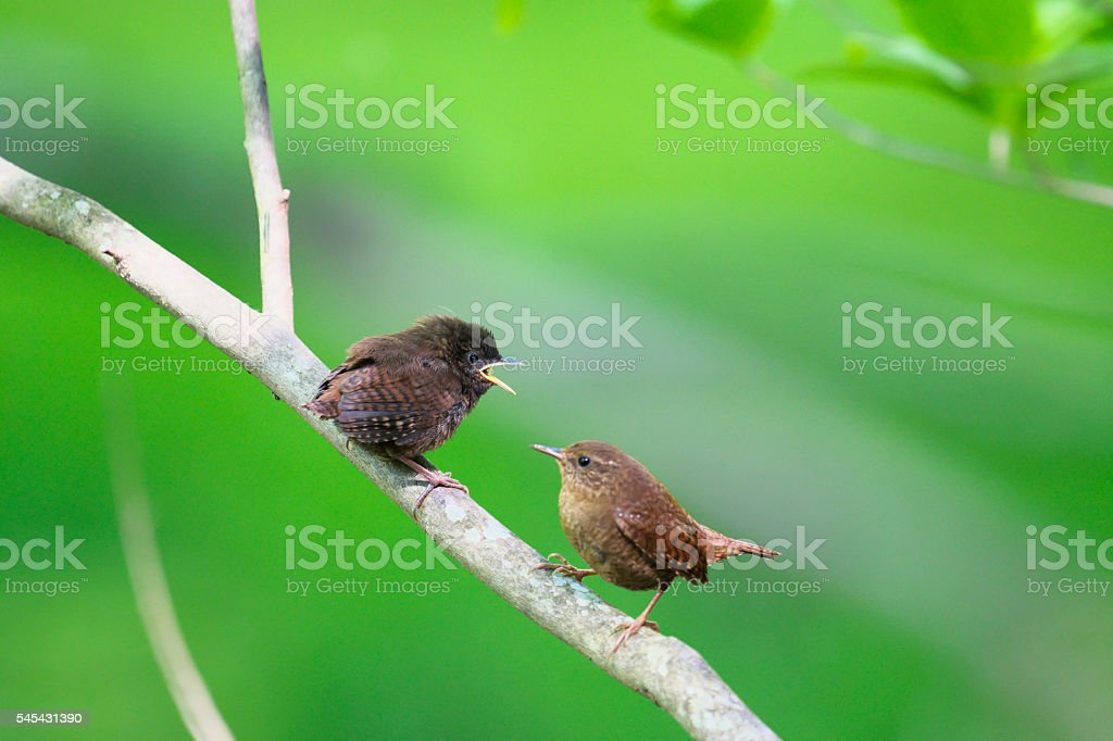 Eurasian Wren stock photo