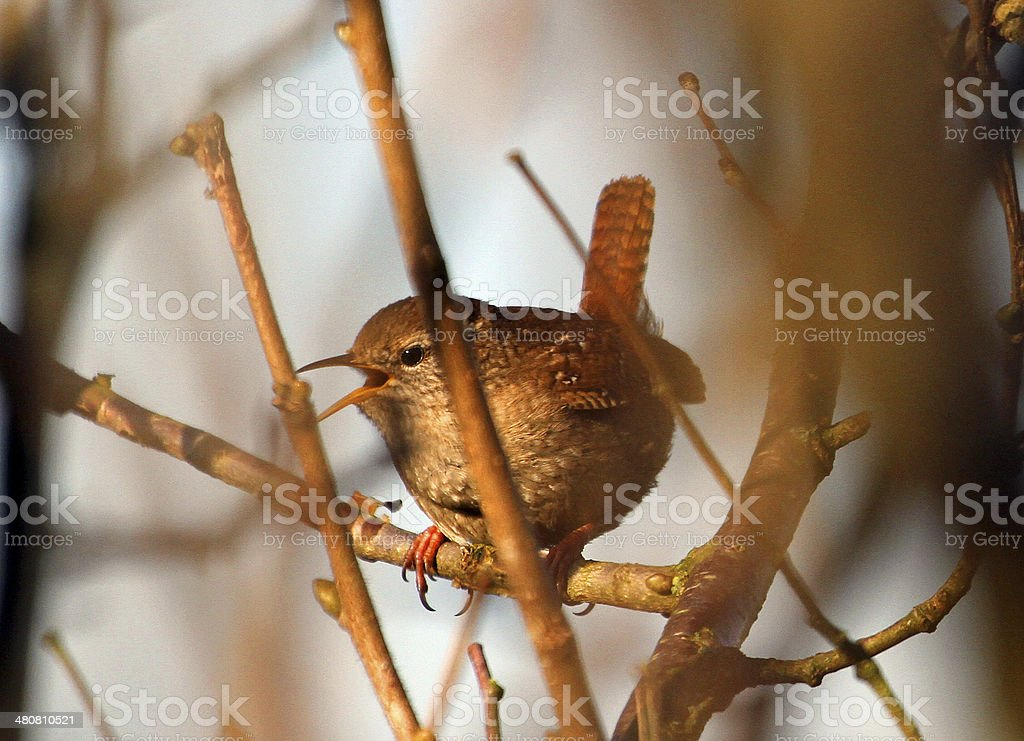 Eurasian Wren sings in a hedgerow stock photo