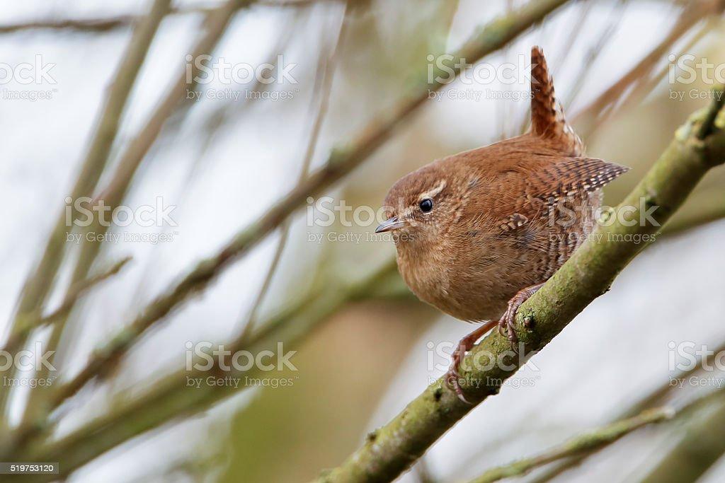 Eurasian Wren (Troglodytes troglodytes) sitting on branch, the Netherlands stock photo