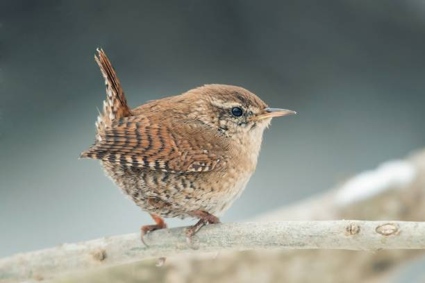 Eurasian Wren (Troglodytes troglodytes).Wild bird in a natural habitat stock photo