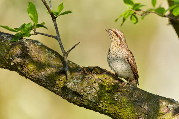 Eurasian Wryneck, Jynx torquilla sitting on the branch before green background. stock photo