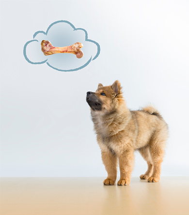 The Eurasier, or Eurasian dog, is a breed of dog of the spitz type that originated in Germany. It is widely known as a wonderful companion that maintains its own personality