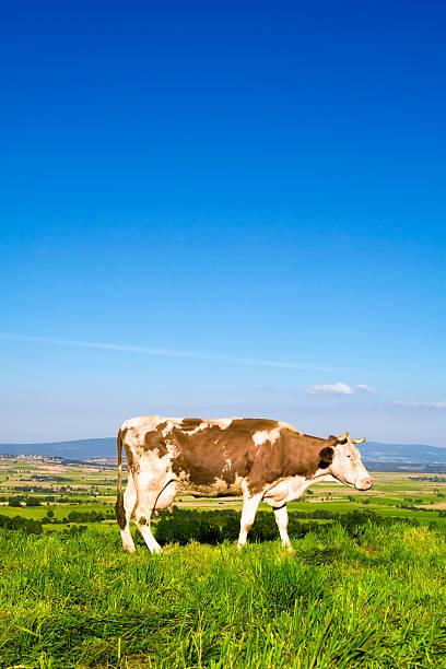 euro kuh-porträt - wie alt werden kühe stock-fotos und bilder
