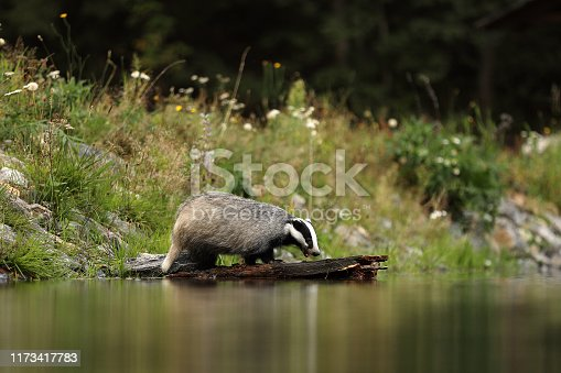 The European badger is a powerfully built black, white, brown and grey animal with a small head and stocky body