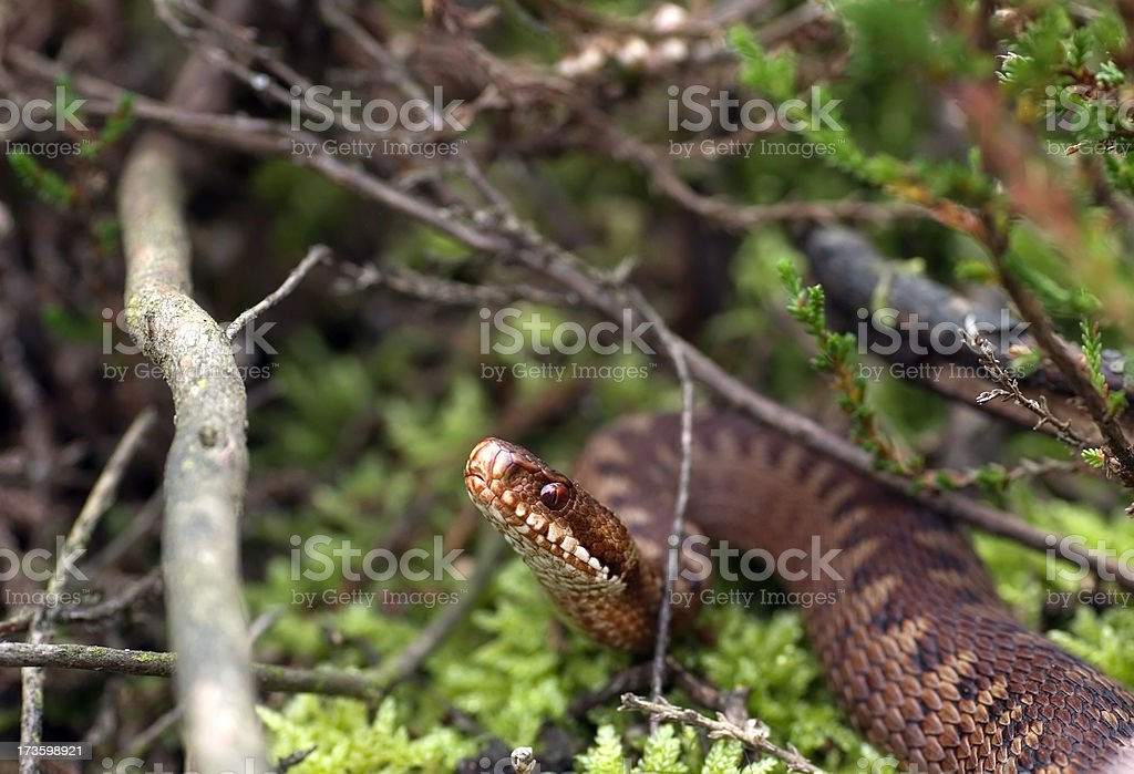 European Adder (Vipera berus) Female royalty-free stock photo