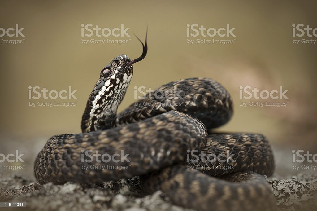 European Adder stock photo