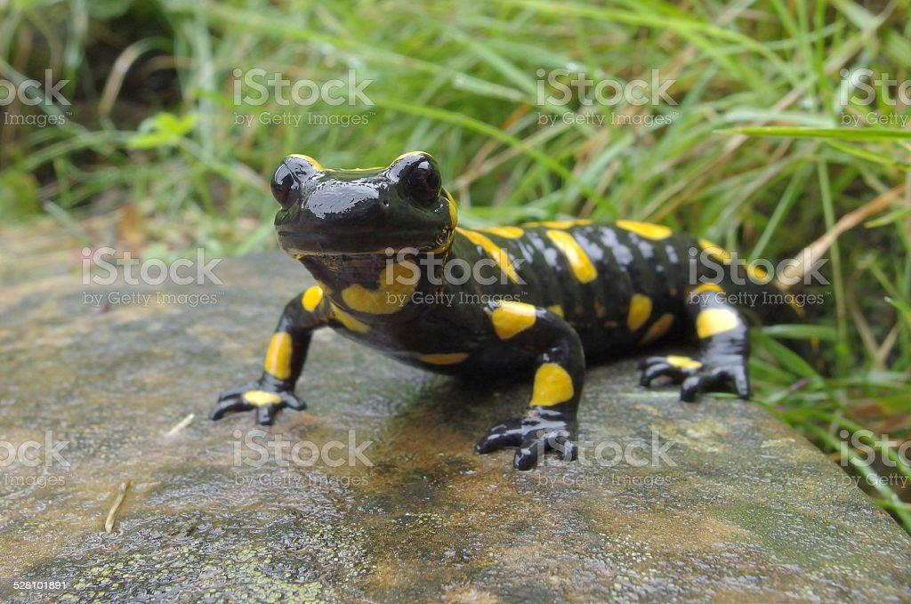 European amphibian: Fire Salamander ( Salamandra salamandra) stock photo