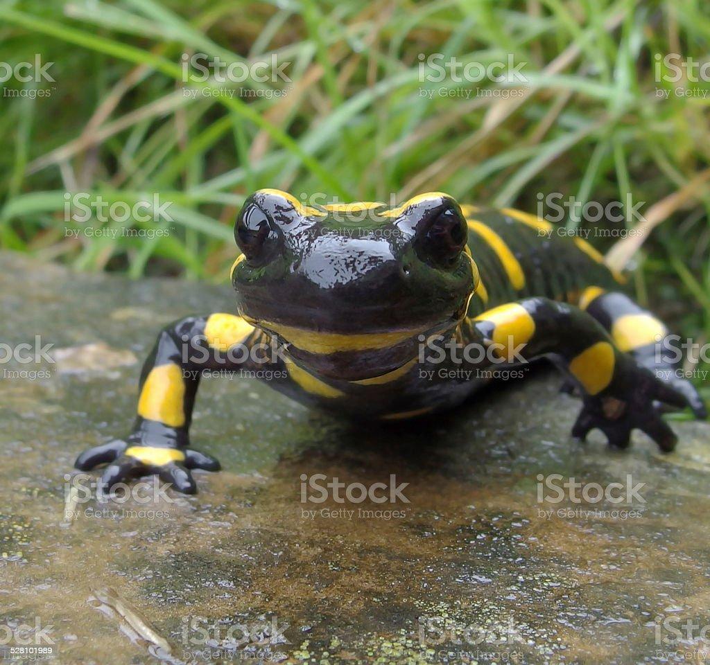 Fotografía de Anfibio Europea Salamandra Común y más banco de ...