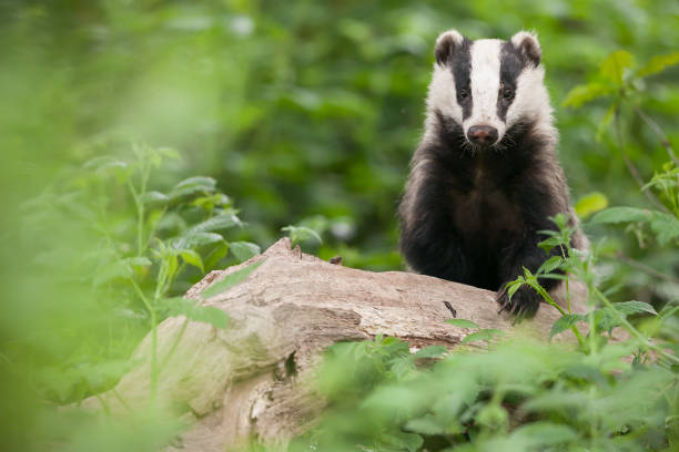 """European badger (Meles meles) Badger wildlife or """"wild animal"""" stock pictures, royalty-free photos & images"""