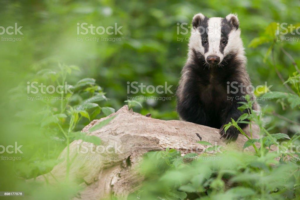 European badger (Meles meles) stock photo