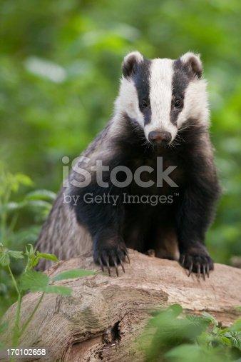European Badger (Meles meles).