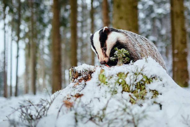 European badger (Meles meles) winter scene. A young badger eats food in a deep forest. stock photo