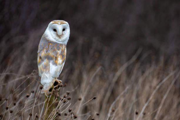European Barn Owl (Tyto Alba) in completely natural habitat stock photo