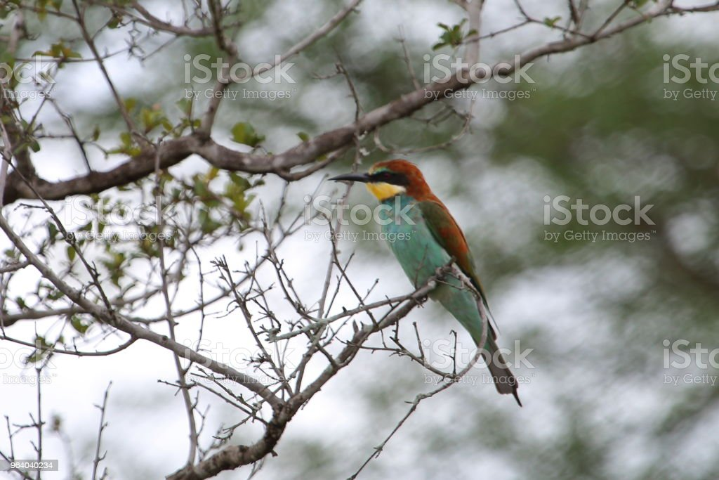 European Bee Eater Perched on a Small Branch - Royalty-free Africa Stock Photo